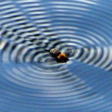 The bee creates an interference pattern on the water surface by beating her wings.